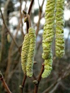 Die Gemeine Hasel (Corylus avellana), auch Haselstrauch oder Haselnussstrauch genannt, ist eine Pflanzenart aus der Familie der Birkengewächse (Betulaceae).